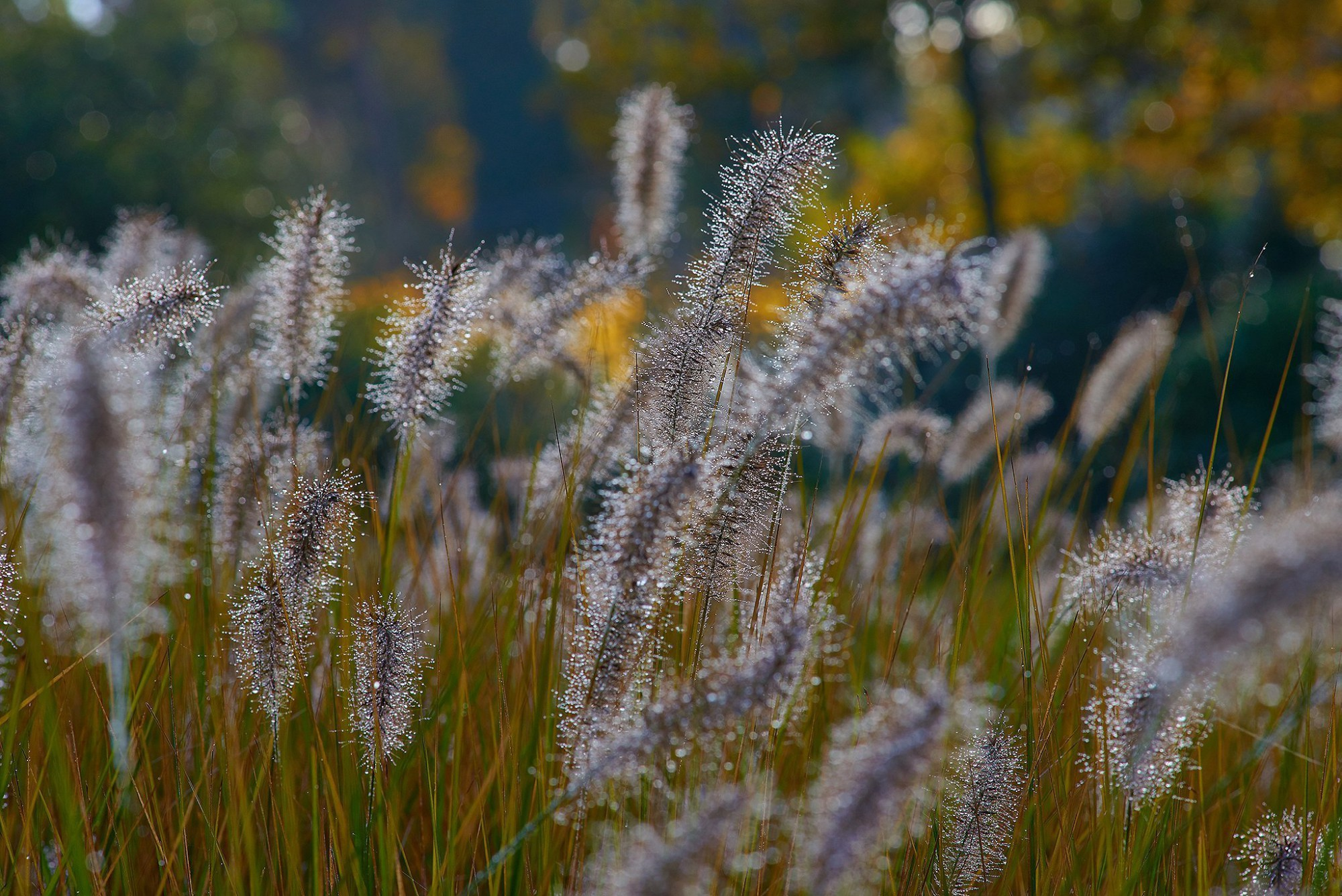 Afbeelding: Fotografie tuinarchitectuur, fotografie bloemen en planten, bomen en struiken. Bloeiende grassen in het herfstlicht.