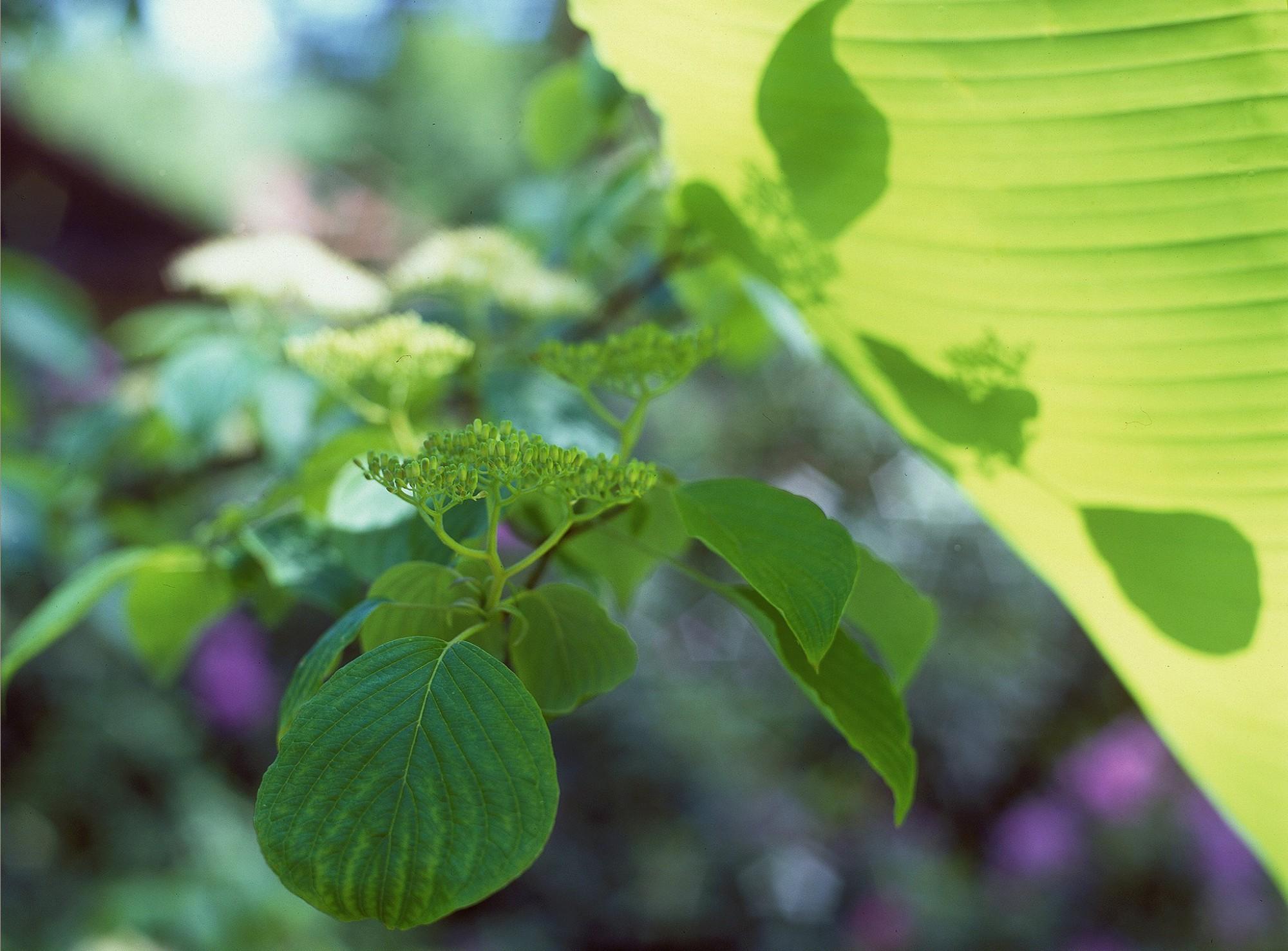 Afbeelding: Fotografie planten en struiken, viburnum en bananenblad.
