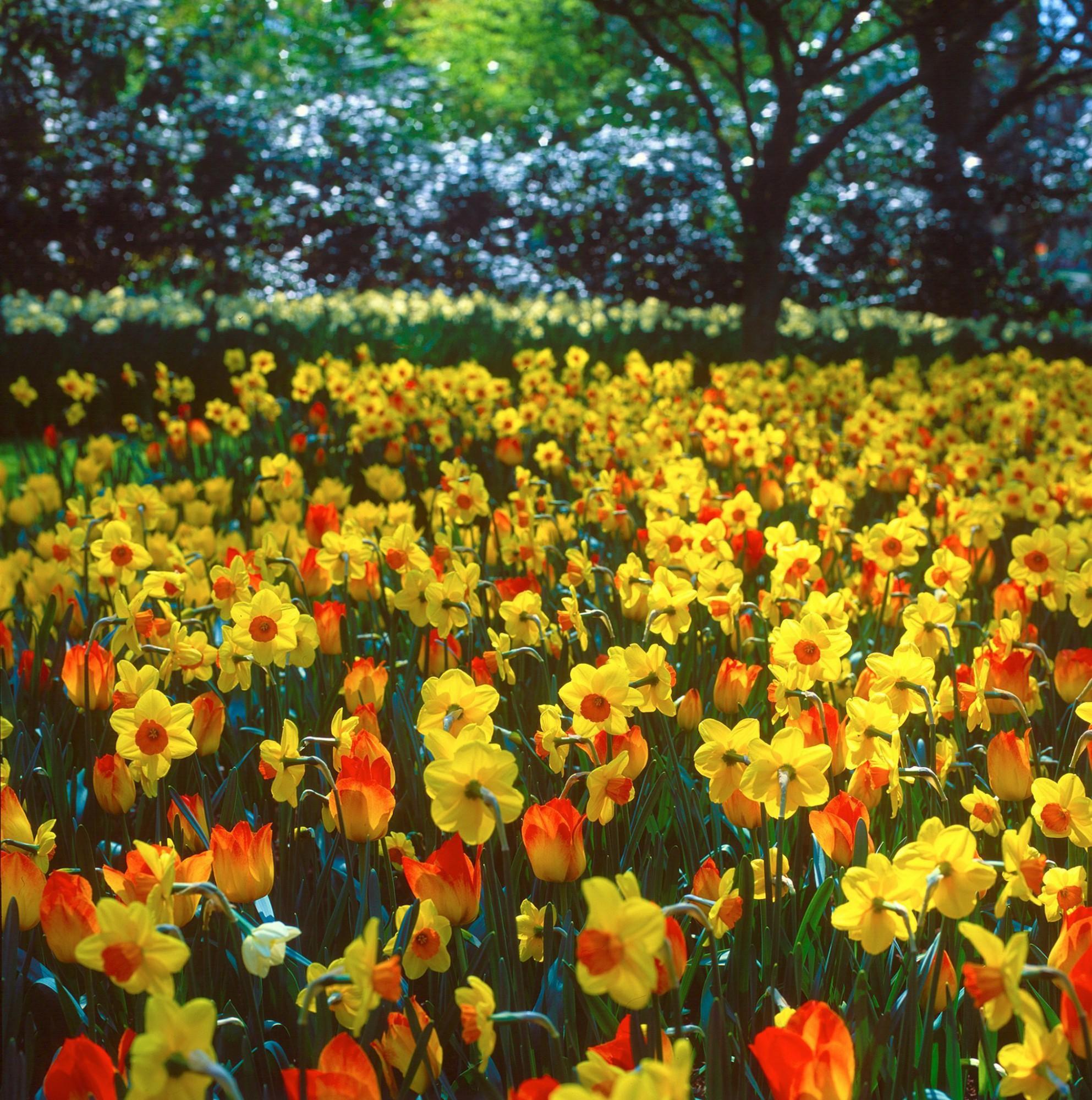 Afbeelding: Fotografie bloemen en tuinen, narcissen, foto Van Huffel.