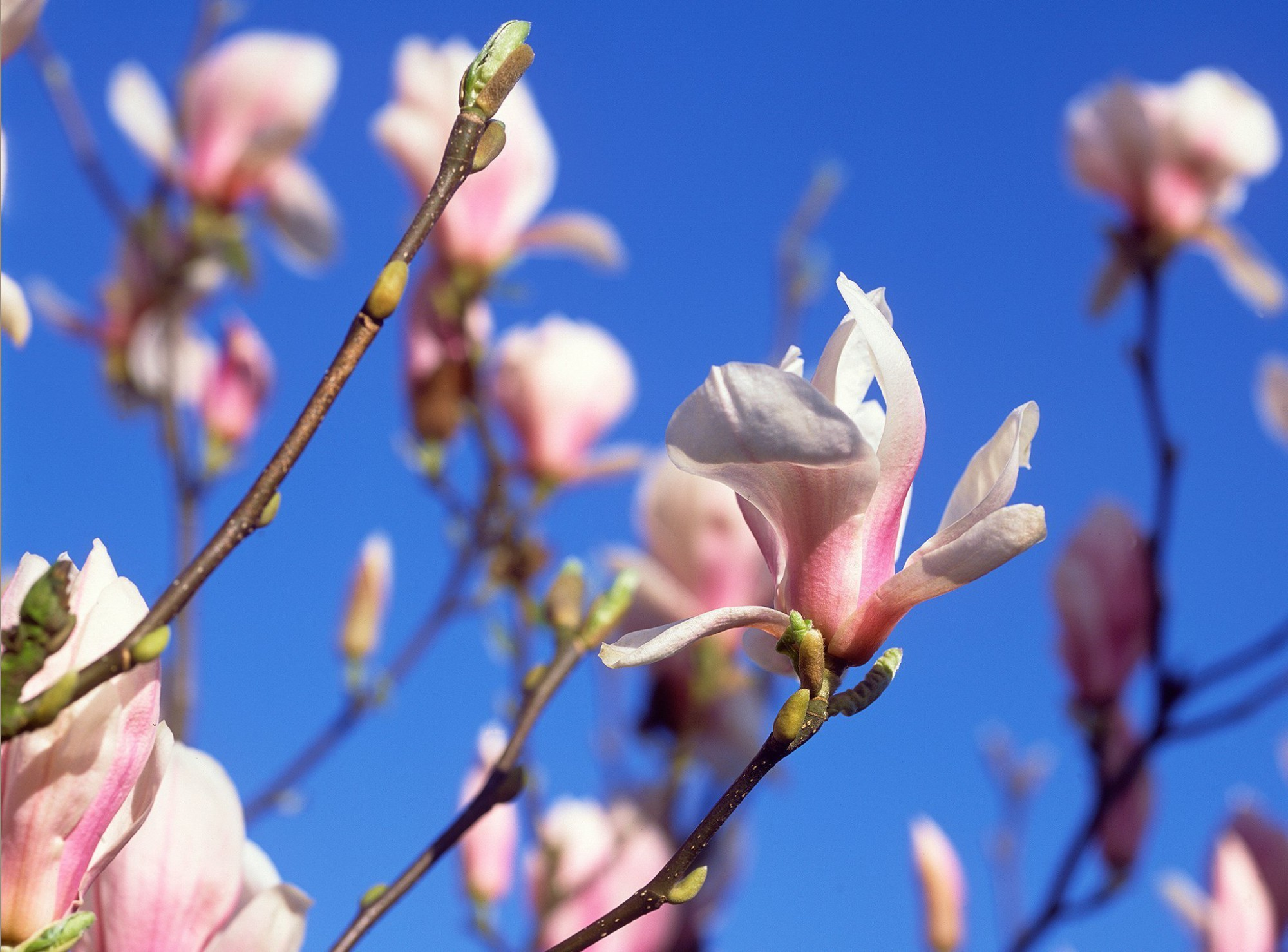 Afbeelding: fotografie struiken en bomen, magnolia, foto Van Huffel.