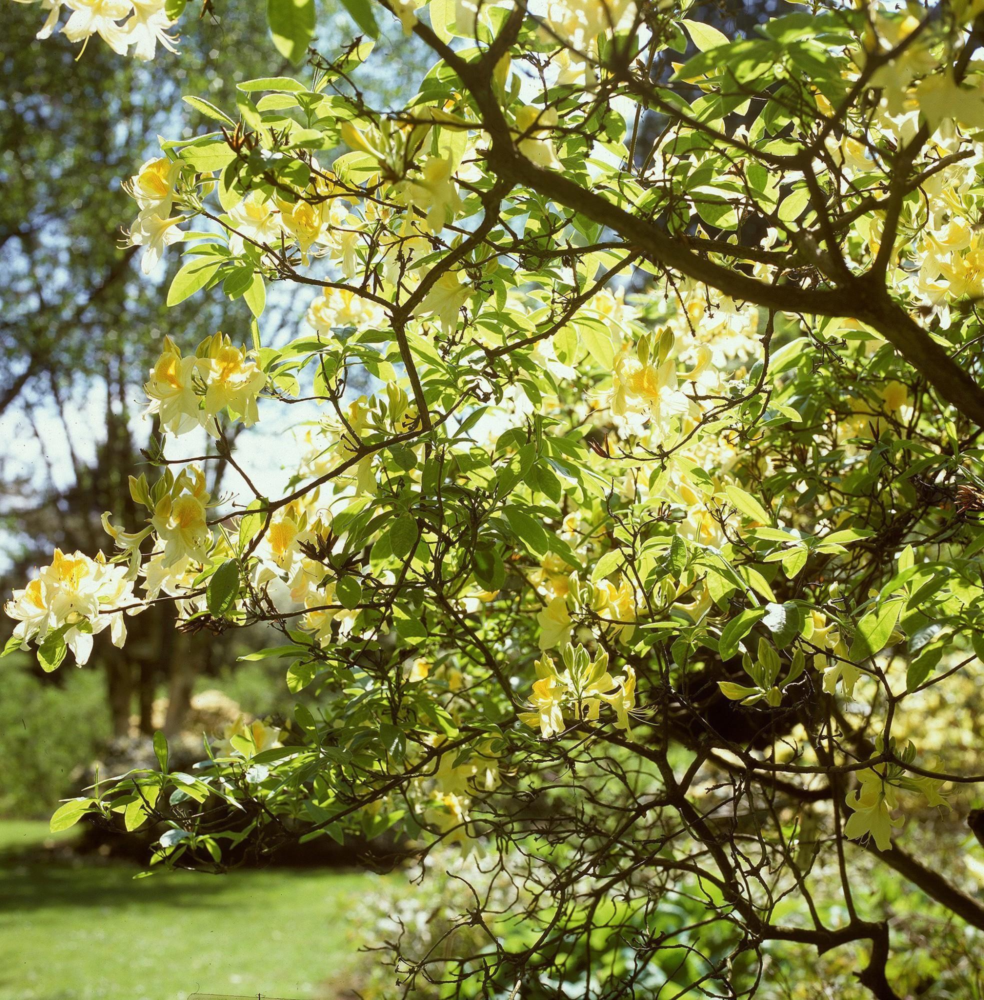 Afbeelding: Fotografie struiken en bomen, azalea geel, arboretum Kalmthout, foto Van Huffel.
