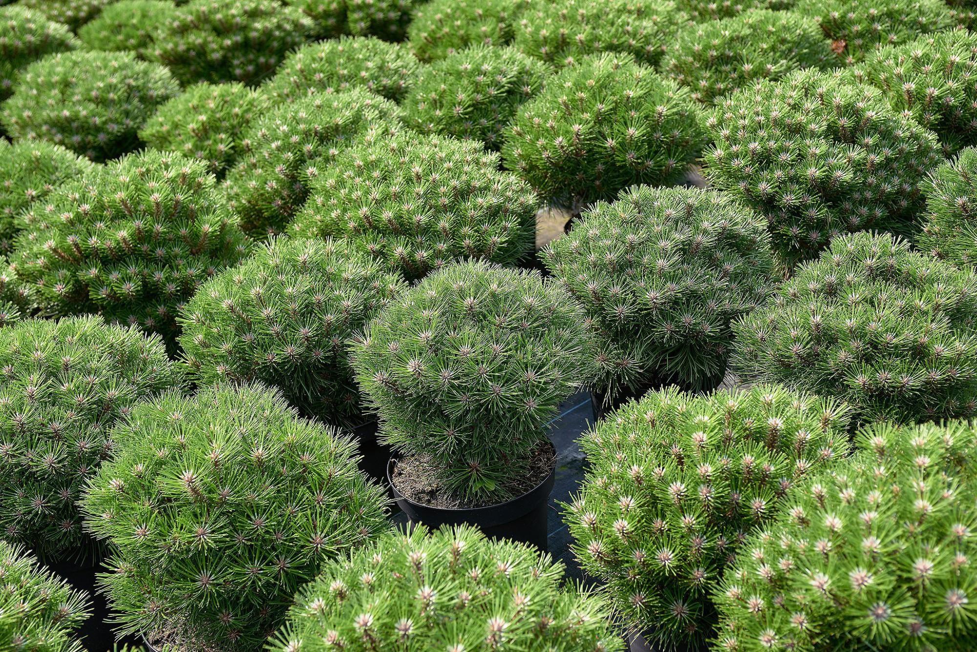 Afbeelding: Fotografie selectie pinus in container voor Arbor, foto Van Huffel.