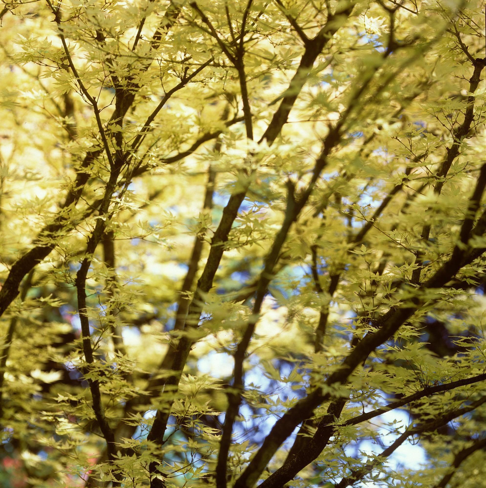 Afbeelding: Fotografie struiken en bomen, acer coral creek, arboretum Kalmthout