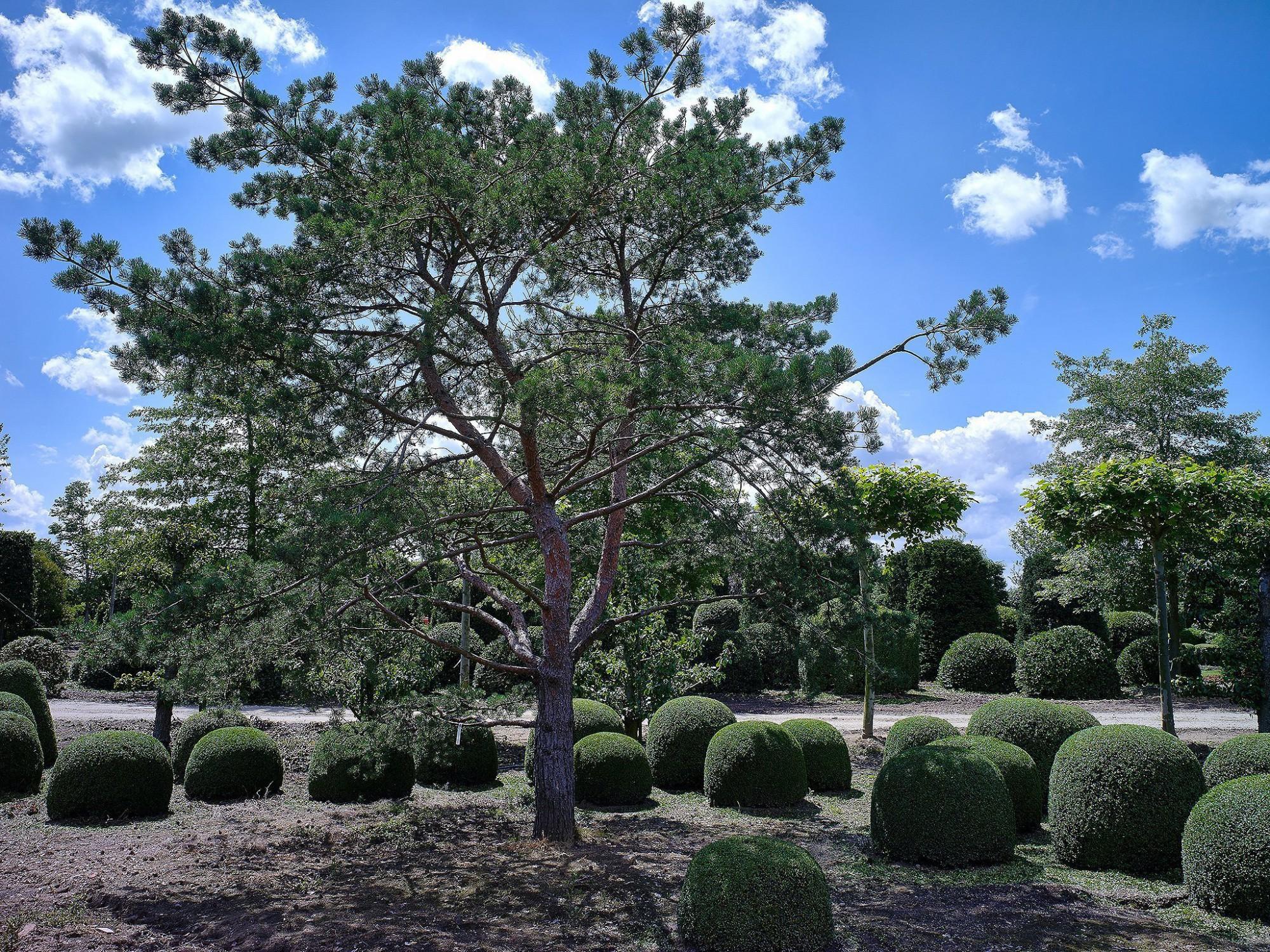 Afbeelding: Pinus en buxus vormen op plantenkwekerij, voor Solitair, landschapsfotografie foto Van Huffel.