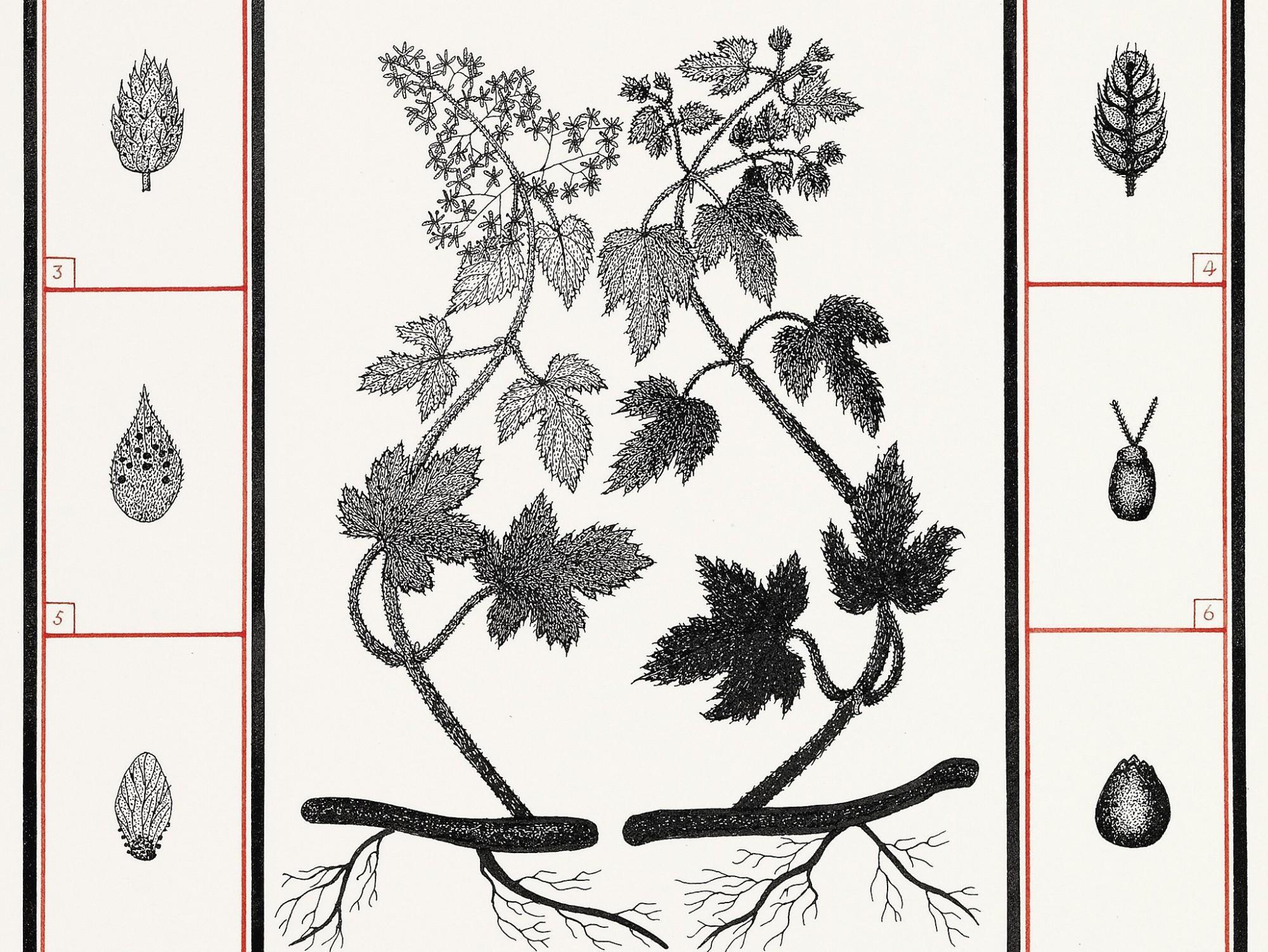 Afbeelding: Het maken van reproducties van tekeningen. Plantenboek van © Jos Aerts voor stad Turnhout.
