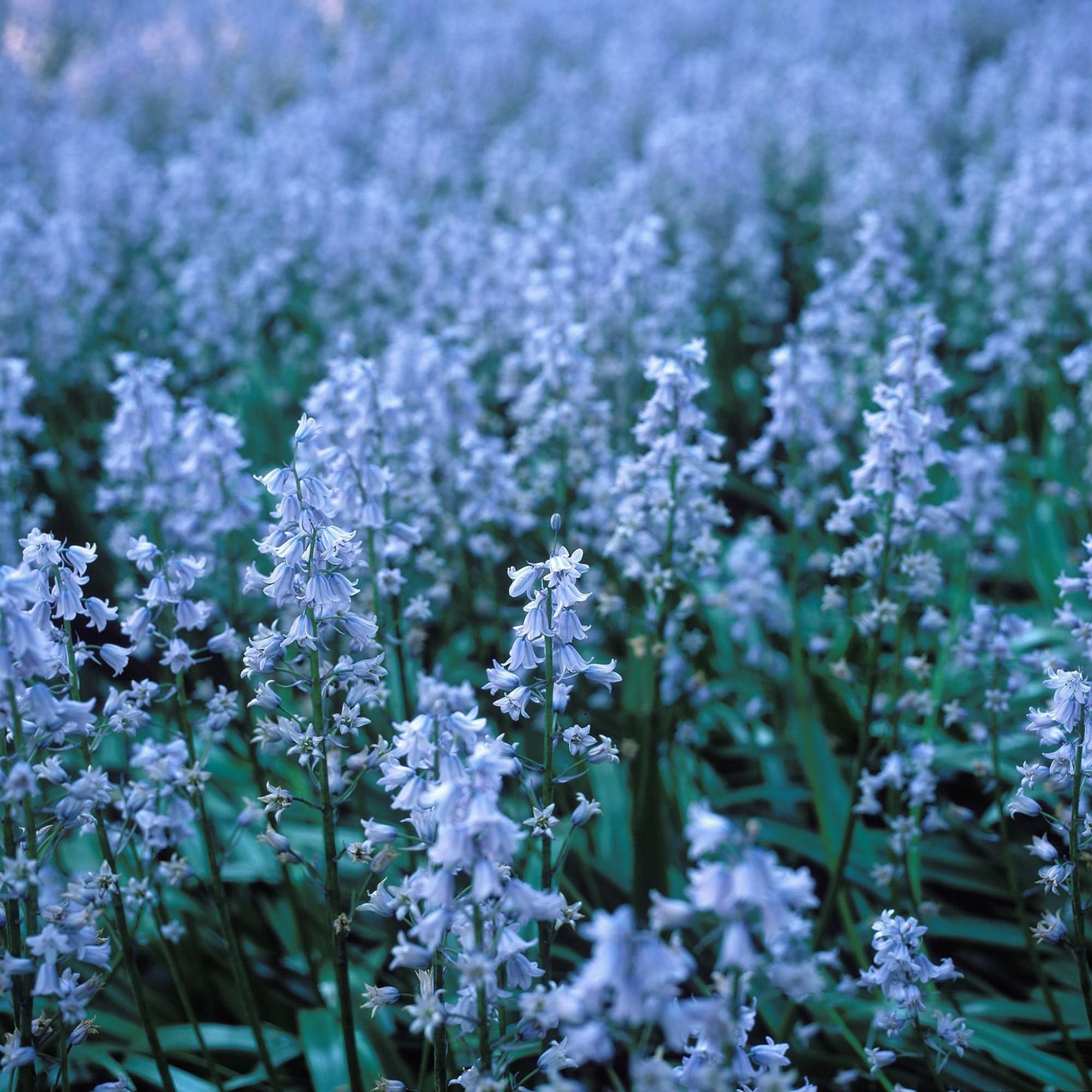 Afbeelding: Fotografie bloemen en planten, boshyacinten.