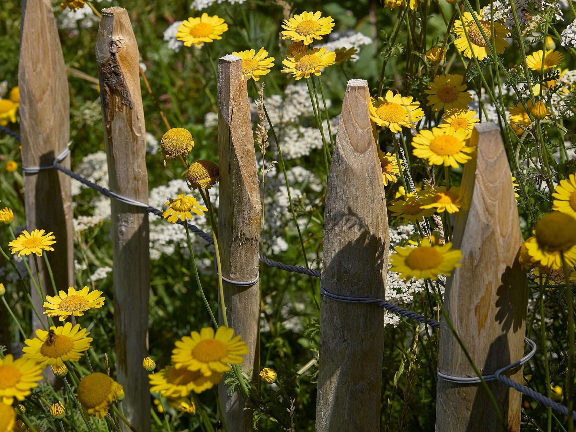 Afbeelding: Fotografie tuinarchitectuur, fotografie bloemen en planten, bomen en struiken. Kastanje houten afsluiting met gele margrieten.