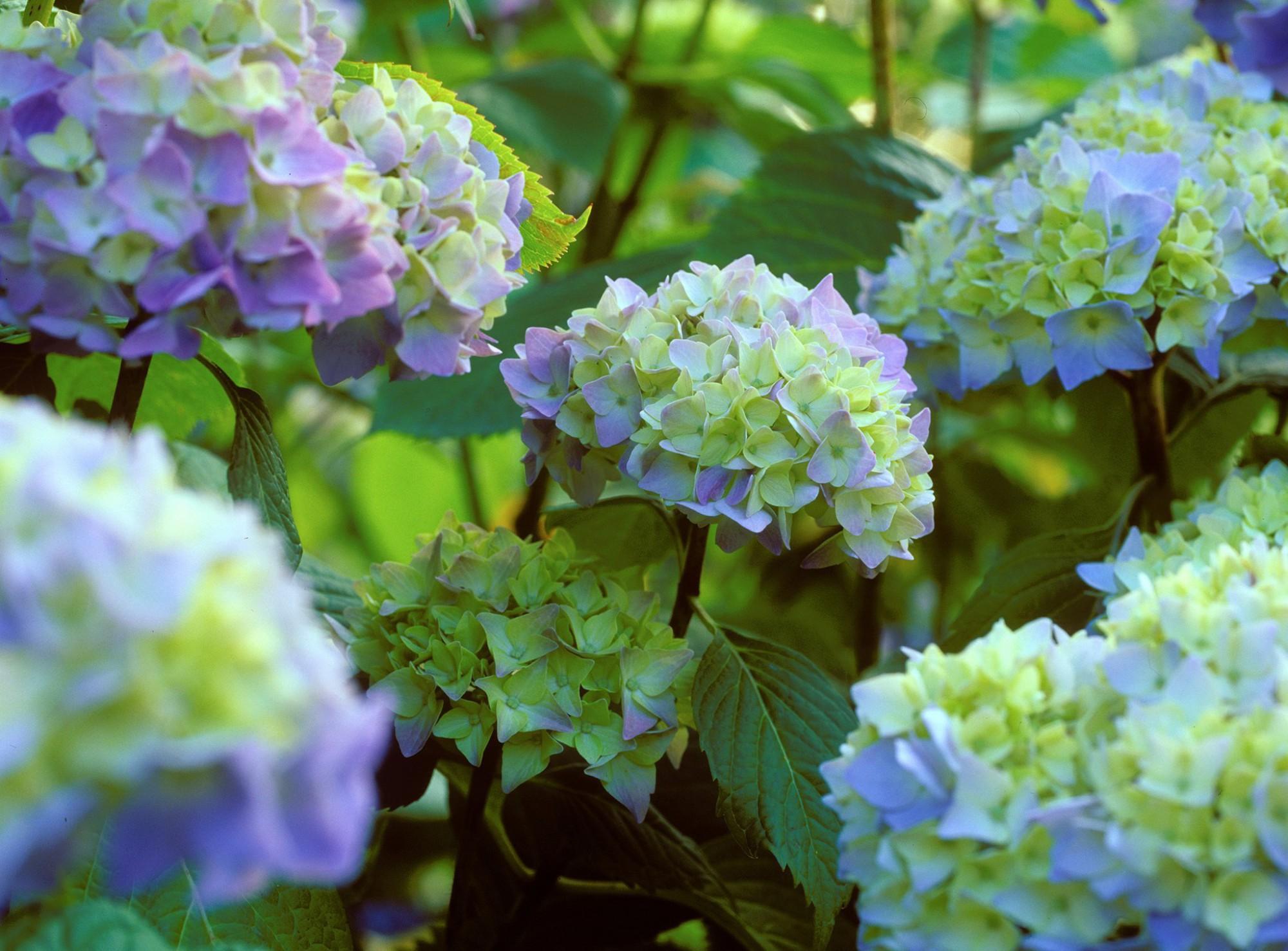 Afbeelding: Fotografie selectie hortensia's, foto Van Huffel.