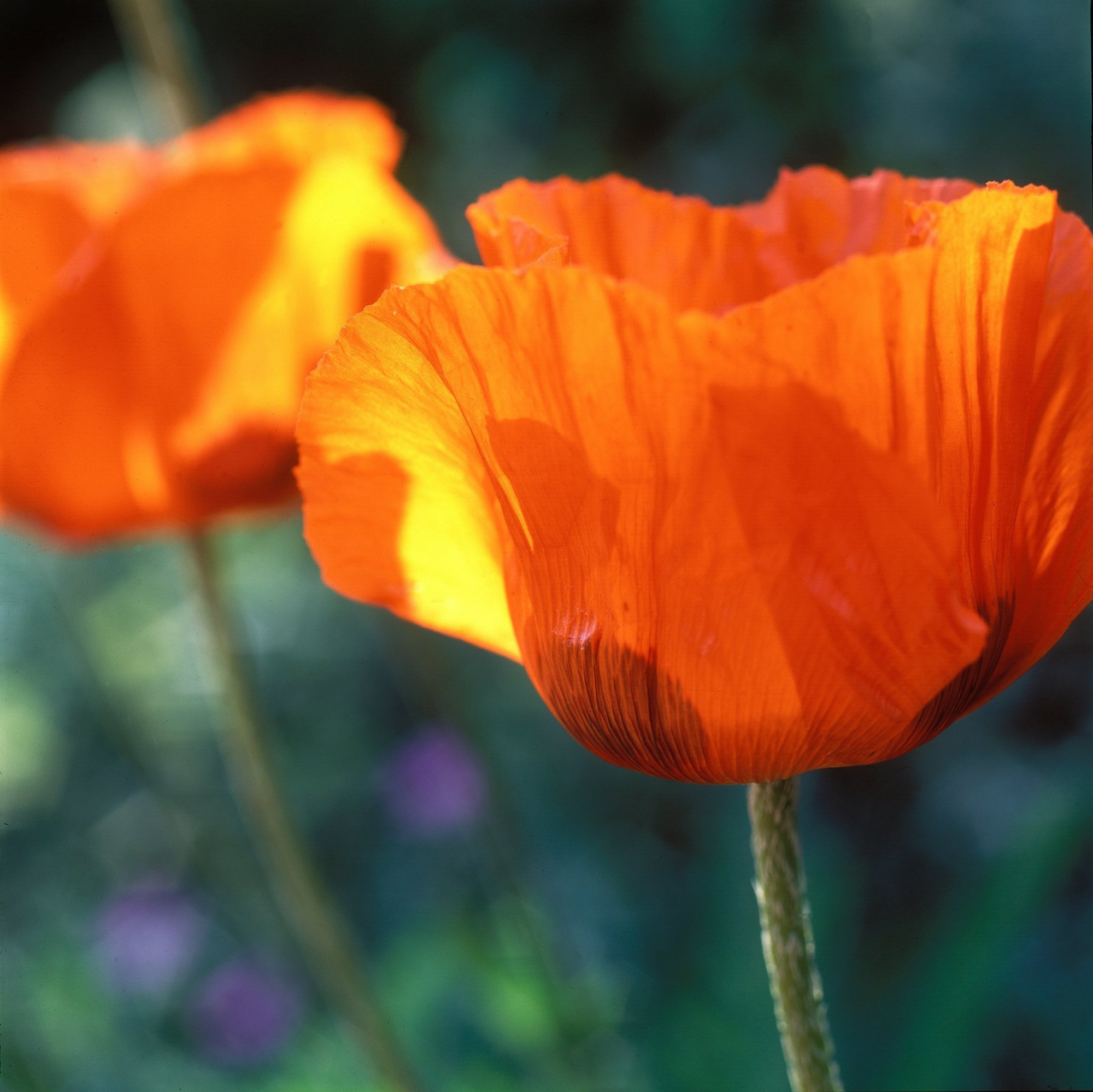 Afbeelding: Fotografie bloemen en planten, klaproos, foto Van Huffel.