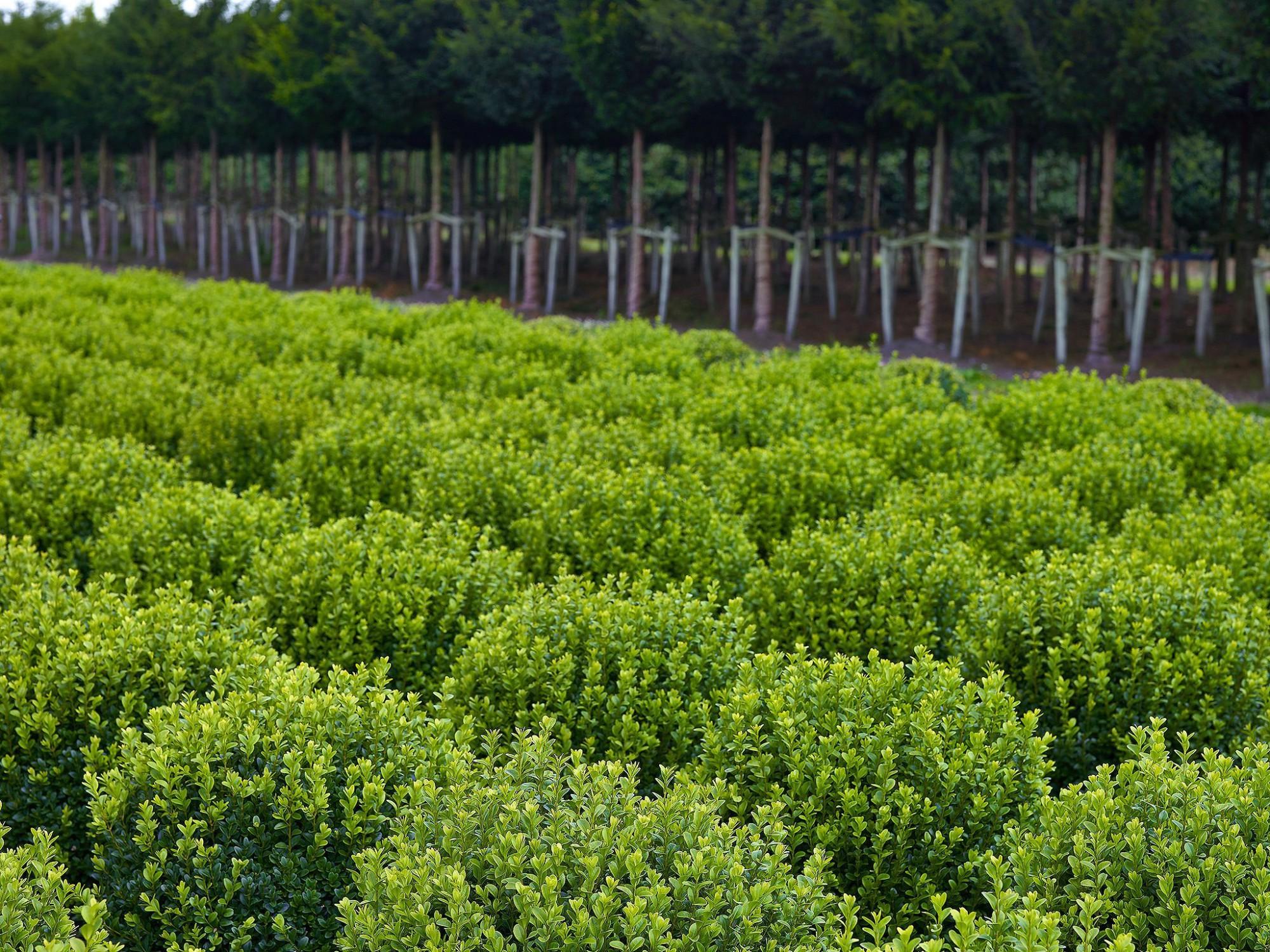 Afbeelding: Buxus en taxus op de plantenkwekerij, voor Solitair.