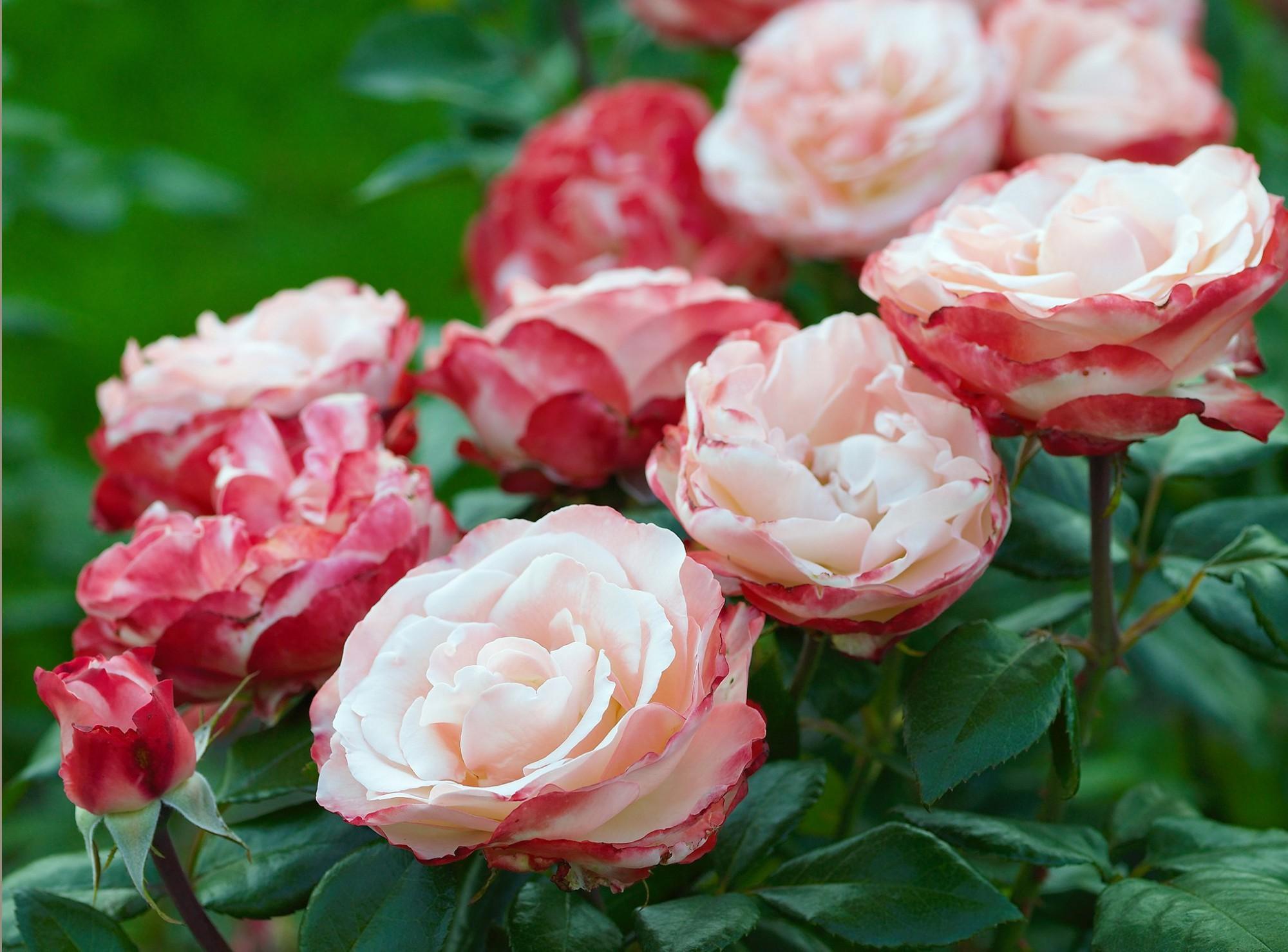 Afbeelding: Fotografie selectie rozen, Rozenrijk, foto Van Huffel.
